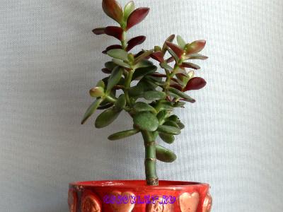 Денежное дерево комнатное растение
