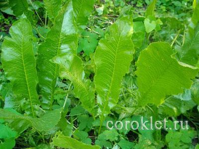 Настойка из листьев хрена