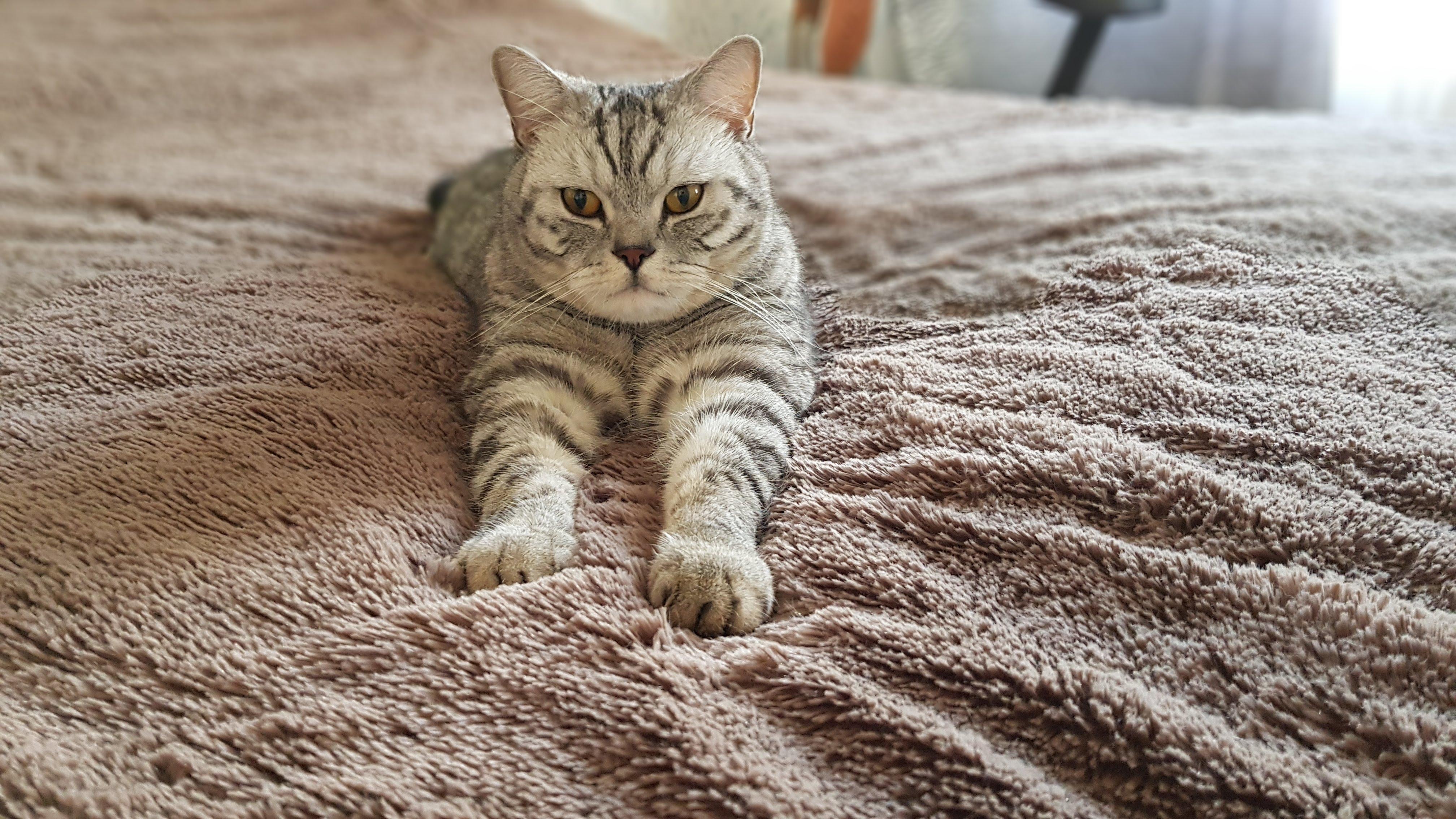 Инстаграм кота Вискарика Шотландского